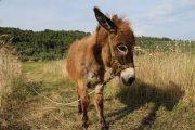 Sipan Island Donkey