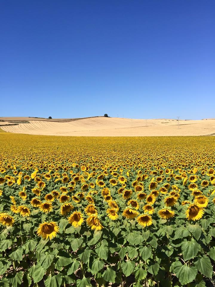 sunflower fields, camino